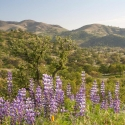 Light purple flowers with hills in distance