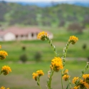 Yellow flowers with home in distance