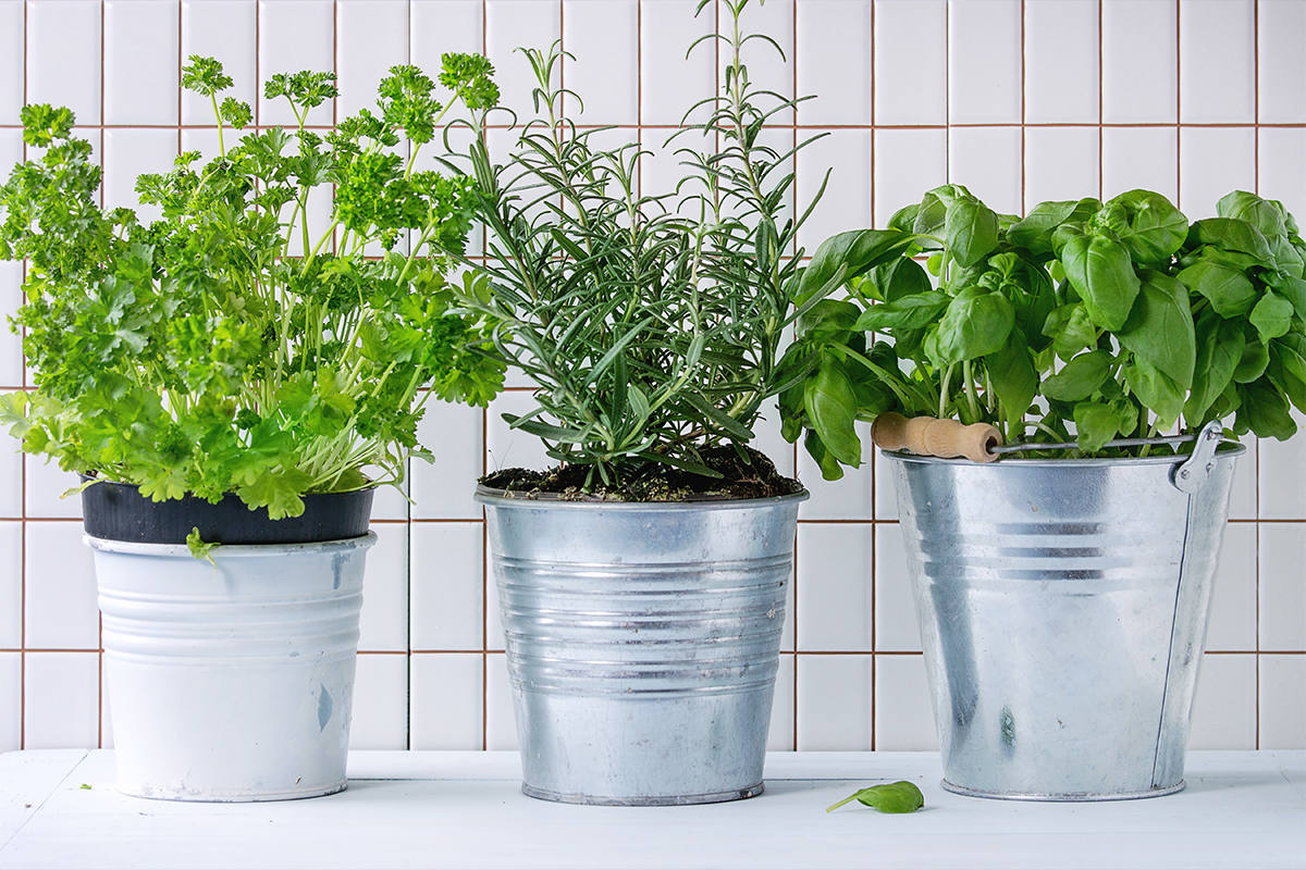 Herbs growing in three pots sitting on a well lit counter.