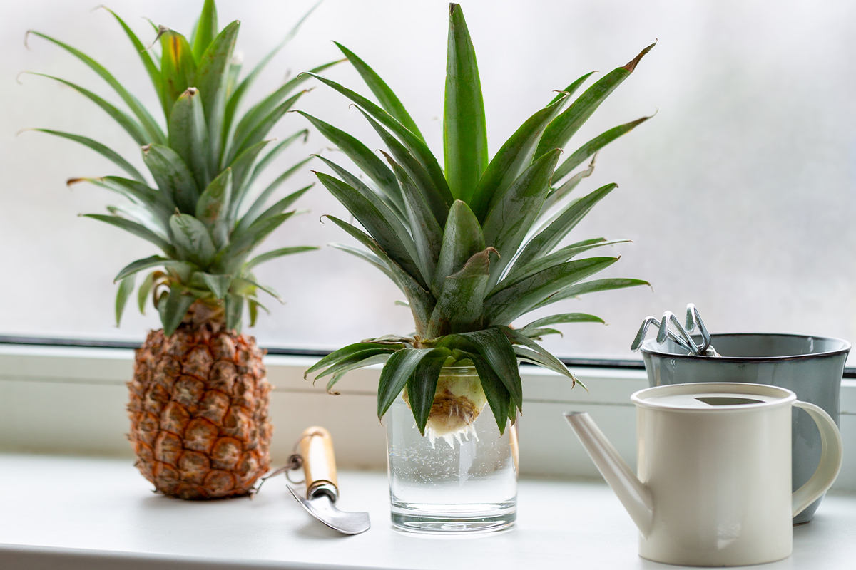A cut pineapple top sits in a glass of water, waiting for roots to emerge.