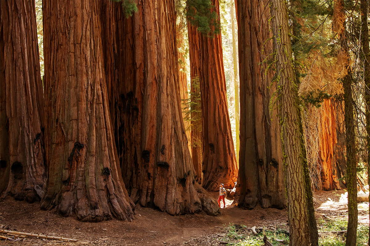 A man stands at the base of a grove of giant sequoias, showing the impressive scale of the enormous trees.