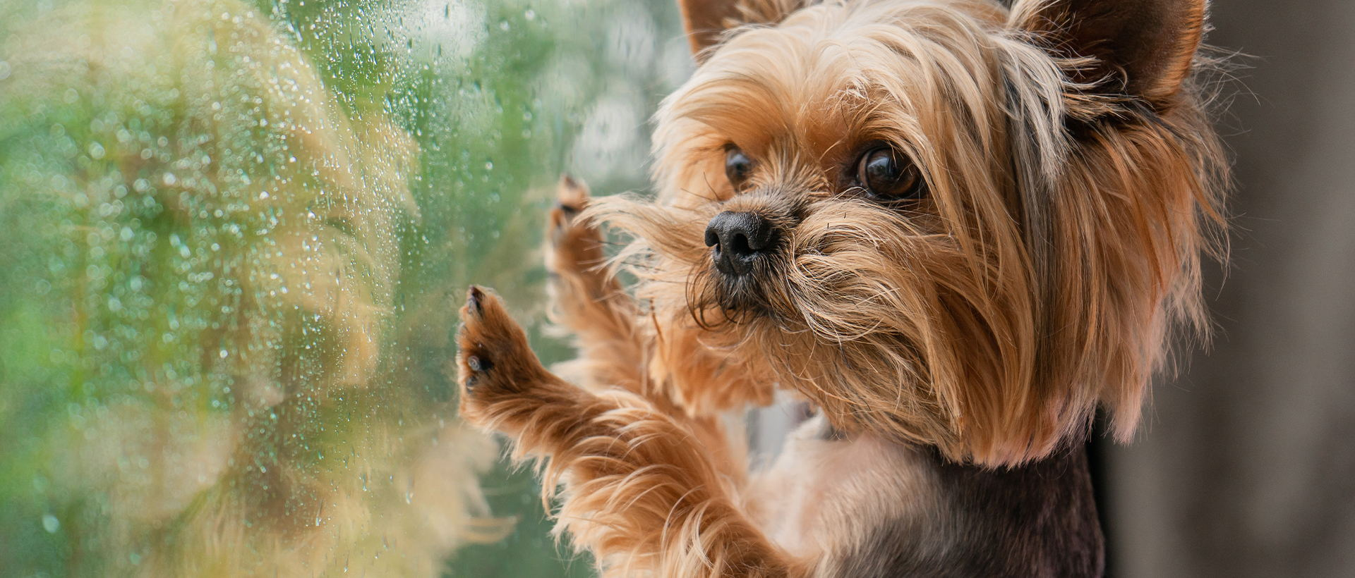 An adorable Yorkshire Terrier puppy looking out of a window on a rainy day.
