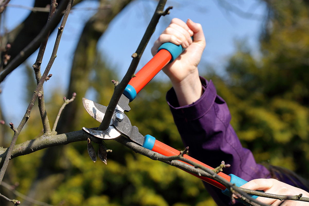 Someone using large pruning clippers to remove branches from a tree.